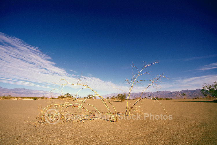 Death Valley National Park, California, CA, USA - Dried out Bush on the Mesquite Sand Dunes near Stovepipe Wells, Funeral Mountains in the Distance