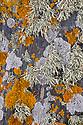 Coastal lichens growing on cliff face including Sea Ivory {Ramalina siliquosa}, Black Shields {Tephromela atra} and the orange Xanthoria aureola. Near Lizard Point, Cornwall, UK. September.