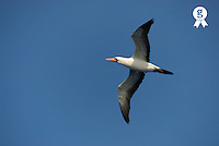 Flying Masked booby  (Sula dactylatra ) in flight, low angle view (Licence this image exclusively with Getty: http://www.gettyimages.com/detail/73013990 )