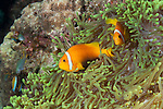 Thandi Giri, Kadhdhoo Island, Laamu Atoll, Maldives; two Blackfinned Anemonefish (Amphiprion nigripes) in a green Magnificent Sea Anemone
