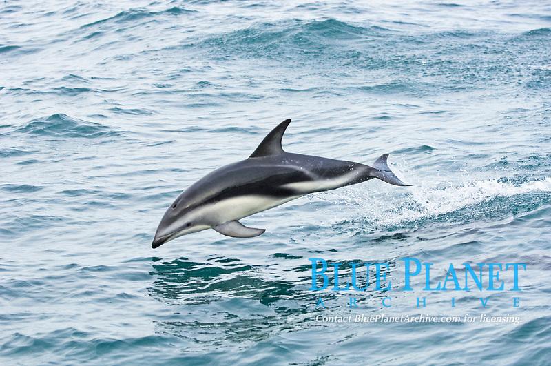 Dusky Dolphin (Lagenorhynchus obscurus), adult, porpoising, Kaikoura, South Island, New Zealand, Oceania