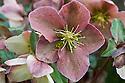 Helleborus x ericsmithii 'Ruby Glow', late February.