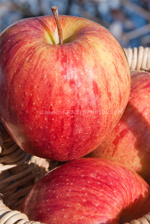Apple Gala fruits, Malus domestica, three in basket freshly picked crop Malus domestia Apple 'Gala'. Gala originates from the 1920s, when orchardist J.H Kidd crossed a Golden Delicious with his own Kidd's Orange Red. Heirloom apple, antique apple variety