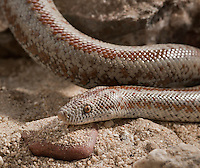 Rosy Boa.Lichanura trivirgata.A notoriously difficult to find (for us normal mortals) snake. I've hunted far and wide in search of one of these beauties and I finally found one. Wrong time of year, wrong weather, and in the place I've been searching unsuccessfully every week that I've been here. Here's to tenacity...With this discovery, I have now seen both species of Boa native to the U.S.