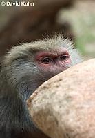 0719-1113  Female Hamadryas Baboon, Papio hamadryas  © David Kuhn/Dwight Kuhn Photography.