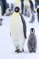 Snow Hill Island, Antarctica. Emperor penguin adult and juvenile walking side by side.