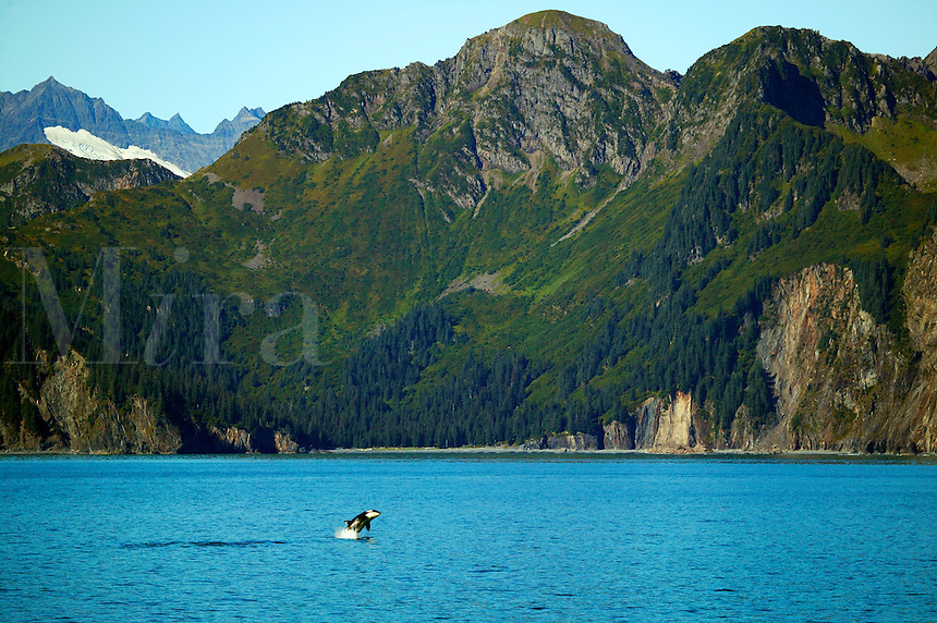 A Ocra whale breeches along the Kenai Fjords National Park coastline, Resurrection Bay, Alaska