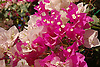 white and pink Bougainvillea blossoms<br /> <br /> flores de Bougainvillea blancas y rosas<br /> <br /> weiße und rosa Bougainvillea-Blüten<br /> <br /> bot.: Bougainvillea glabra<br /> <br /> 3008 x 2000 px<br /> 150 dpi: 50,94 x 33,87 cm<br /> 300 dpi: 25,47 x 16,93 cm