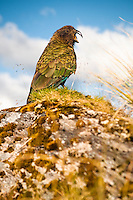 Native alpine parrot, kea, on Alex Knob track, Westland NP, West Coast, New Zealand