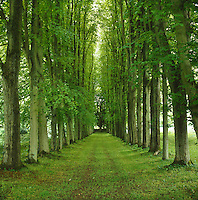 An avenue of closely planted beech trees lines a grassed-over cart track