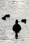 Mallard hen and ducklings seen in silhouette on the water of Sprague Lake in Rocky Mountain National Park, June morning in Colorado