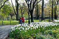New York, New York City, during the time of the Coronavirus. Couple in masks taking in the beauty of the tulips in Central Aprk.
