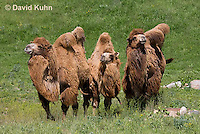 0620-1007  Three Bactrian Camels, Camelus bactrianus  © David Kuhn/Dwight Kuhn Photography
