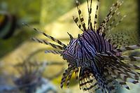 Invasive but beautiful exotic zebra fish or striped lionfish underwater on Paradise Island, near Nassau, Bahamas