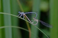 Gemeine Federlibelle, Blaue Federlibelle, Paarungsrad, Kopulation, Paarung, oben Männchen, unten Weibchen, Platycnemis pennipes, white-legged damselfly