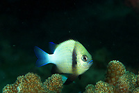 Indian dascyllus damsel fish - dascyllus carneus - Length to 9 cm - usually associated with live corals.