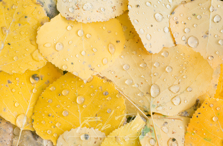 US, CO, Gunnison NF, Water Drops on Aspen Leaves