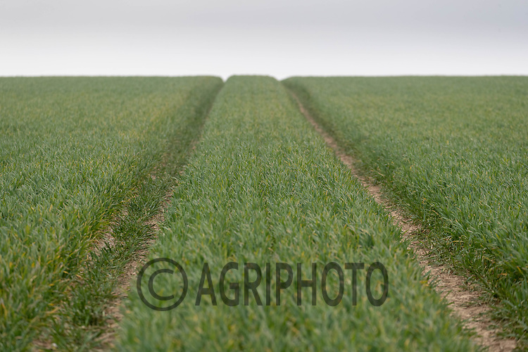 27-4-2021 Winter Wheat plants<br /> ©Tim Scrivener Photographer 07850 303986<br />      ....Covering Agriculture In The UK....