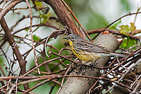 Rare Kirtland's Warbler female (Setophaga kirtlandii ). Spring migration. Lake Erie, Ottawa National Wildlife Refuge, Ohio. ENDANGERED SPECIES.
