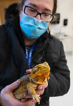 WASHINGTON, CT-011521JS13- Dr. Anne Hermans, an animal science instructor show off Opin, a bearded dragon in the small animal lab at the at the Shepaug Valley's agriscience building in Washington on Friday. The program, which was launched last year, has been a success and continues to grow. <br /> Jim Shannon Republican-American