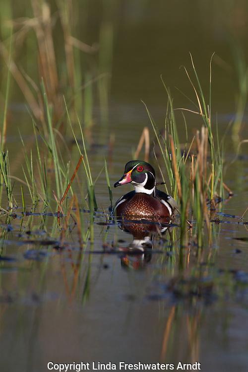 Drake wood duck in spring