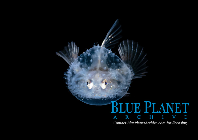 a larval Pancake Batfish, Halieutichthys aculeatus, photographed during a black water dive in about 50 feet with the bottom more than 730 feet below. Palm Beach, Florida, USA, Atlantic Ocean