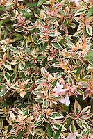 Variegated pink, green, cream leaves of Abelia Mardi Gras with flowers