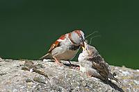 Hausspatz, Haus-Spatz, Spatz, Männchen füttert Küken, Haussperling, Haus-Sperling, Passer domesticus, House Sparrow, Moineau domestique