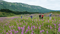 Hikers in summer field wildflower meadow with Fireweed at Turnagain Pass in Chugash National Forest on Kenai Peninsula, Alaska; Pacific Horticulture Society tour