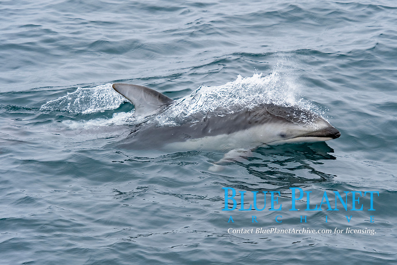 Pacific White-sided dolphin, Lagenorhynchus obliquidens, surfacing, Monterey, California, USA, East Pacific Ocean