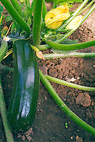 Courgettes in vegetable garden, France.