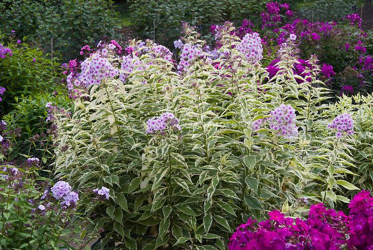 Phlox paniculata 'Norah Leigh' (40), variegated, plant habit, in bloom