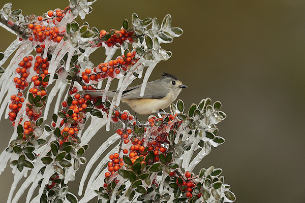 Black-crested Titmouse (Baeolophus bicolor), adult perched on icy branch of Yaupon Holly (Ilex vomitoria) with berries, Hill Country, Texas, USA