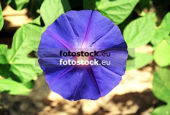 Purple (The Morning Glory, Tall Morning Glory)<br /> <br /> La purpura (Gloria de la mañana)<br /> <br /> Prunkwinde (Prachtwinde, Trichterwinde) <br /> <br /> bot.: Ipomoea purpurea<br /> <br /> Original: 35 mm