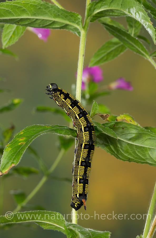 Linienschwärmer, Linien-Schwärmer, Raupe frisst an Weidenröschen, Hyles livornica, Celerio lineata, striped hawk-moth, caterpillar, Le Sphinx livournien, Schwärmer, Sphingidae, hawkmoths, hawk moths, sphinx moths, sphinx moth, hawk-moths, hawkmoth