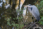 Ellie Schiller Homosassa Springs Wildlife State Park, Homosassa, Florida; an adult, Great Blue Heron standing on the shoreline at the edge of a shallow pool of water