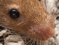 "A closely-cropped version of my ""Mouse face"" image, focusing on the eye and nose region.  In this image you can clearly see the mouse's eyelashes (both above and below her eye), as well as the whisker attachment points.  Interestingly, some of her whiskers are clearly two strands of hair held closely together."