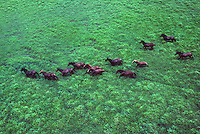 Aerial of Wild Australian Horses (Brumbies) on the northern floodplains of the Top end Northern Territory, Australia