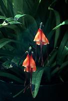 Dracula sodiroi orchid species