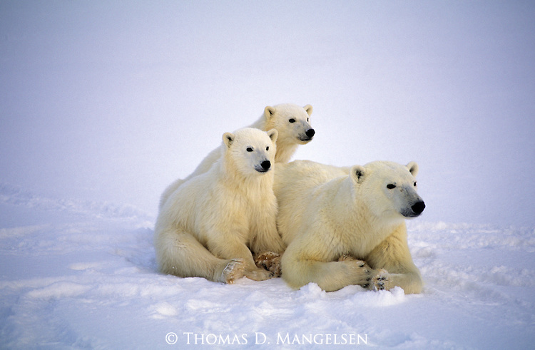 A polar bear rests with her cubs in the snow in Canada.