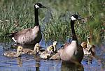 Jake's Wetlands goslings