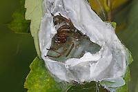Dornfinger, im geöffneten Gespinstsack mit Jungtieren, Ammen-Dornfinger, Dornfinger-Spinne, Giftig, Giftspinne, Gifttier, Cheiracanthium punctorium, yellow sack spider, Sackspinnen, Clubionidae