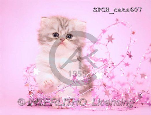 Xavier, ANIMALS, cats, photos(SPCHcats607,#A#) Katzen, gatos