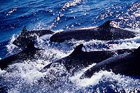false killer whales, Pseudorca crassidens, eastern Tropical Pacific Ocean