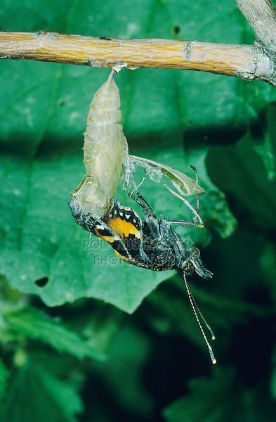 Small Tortoiseshell, Aglais urticae, adult emerging from pupa , Oberaegeri, Switzerland, May 1994