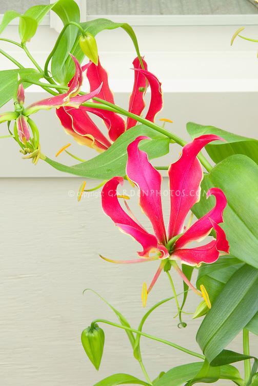 Gloriosa superba Rothschildiana summer bulb in flower against wall