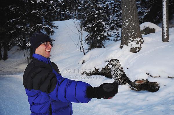 Spotted Nutcracker (Nucifraga caryocatactes), Tourist hand feeding Nutcracker by minus 15 Celsius, Davos, Switzerland, December 2007