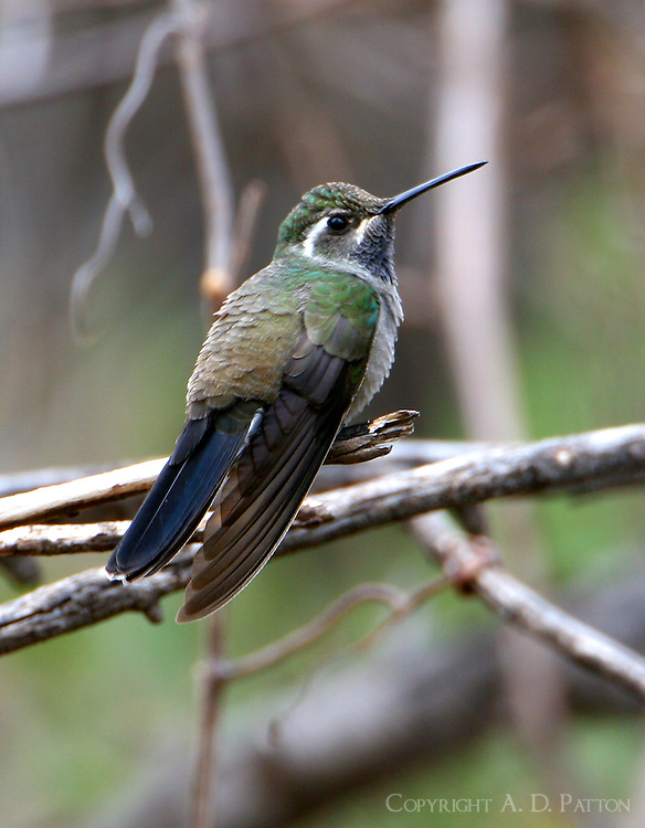Adult male blue-throated mountain-gem on branch. The largest hummingbird in the US.