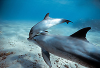 Wild Bottlenose Dolphins, Tursiops truncatus): mother and calf swimming in surf zone, Nuweiba, Egypt, Red Sea., Northern Africa