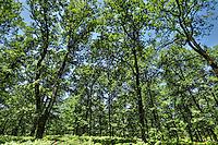 The forest of Foloi in Ilia, Peloponnese, Greece